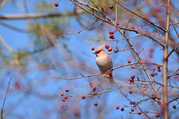 Jemiołuszka na gałęzi drzewa jabłoni. wczesna wiosna. syberia.