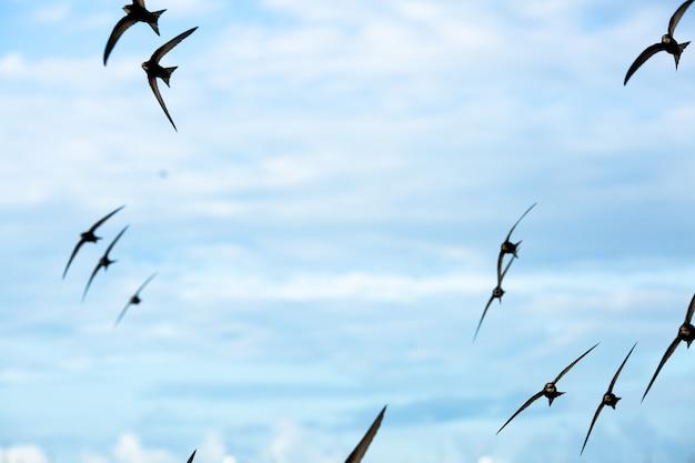 Jerzyki latają po niebie na tle chmur.