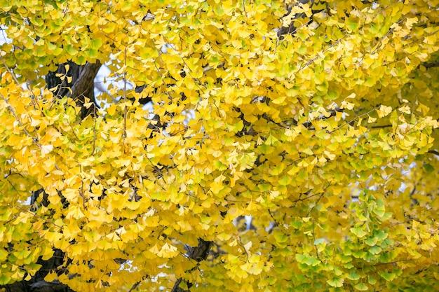Jesień ginkgo drzewni tunele w showa memorial parku