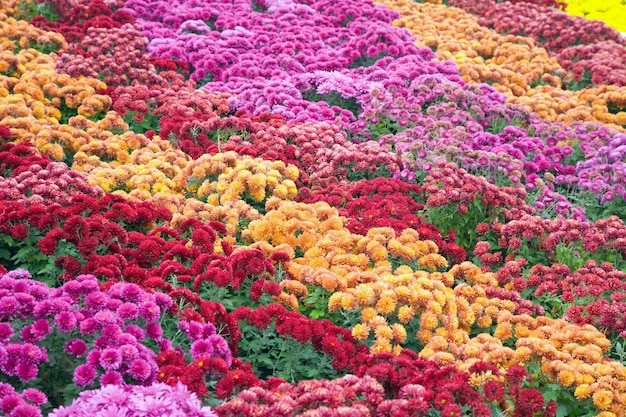 Jesień kwiat chryzantemy źle