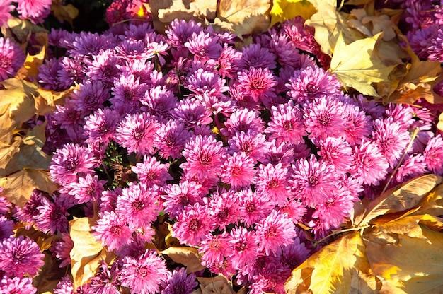 Jesień kwiat chryzantemy
