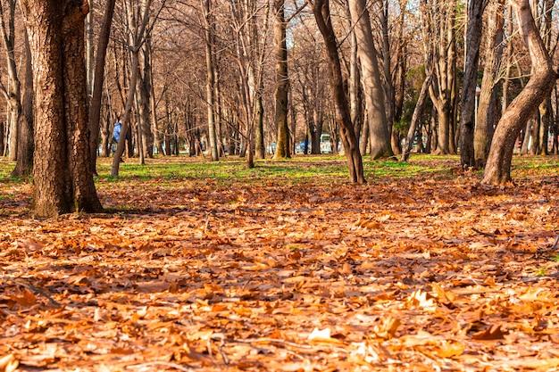 Jesień las z opadłymi żółtymi liśćmi