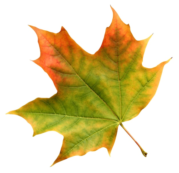 Jesień liść klonu czerwono żółto zielony na białym tle.
