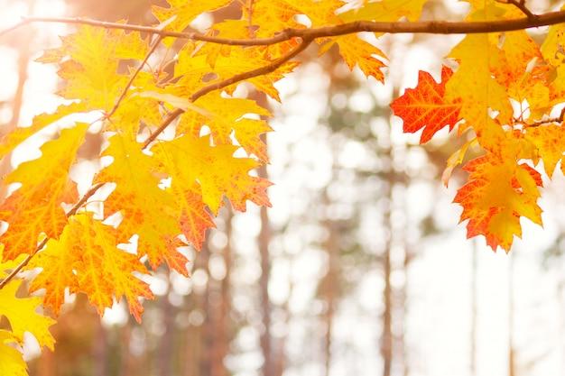 Jesień liście na słońcu i zamazani drzewa. jesienne tło.