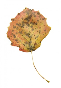 Jesień liście osika odizolowywająca