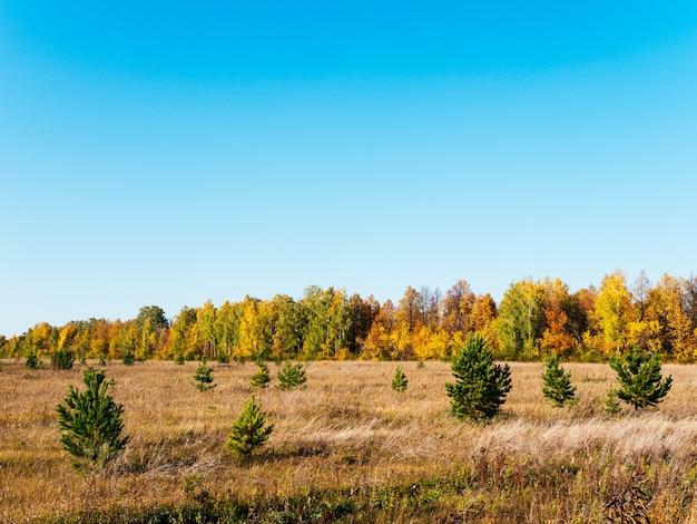 Jesień malowniczy słoneczny krajobraz. pole z suchą trawą, zielone choinki, żółte drzewa na tle błękitnego nieba. es.