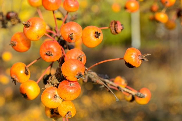 Jesień mały zbliżenie dzikich jabłek. selektywne skupienie. jesienny krajobraz.