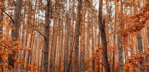 Jesień mieszany las iglasty i liściasty. tekstura.