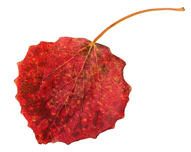Jesień na białym tle liść osiki. czerwony liść na białym tle na białym tle. zielnik.