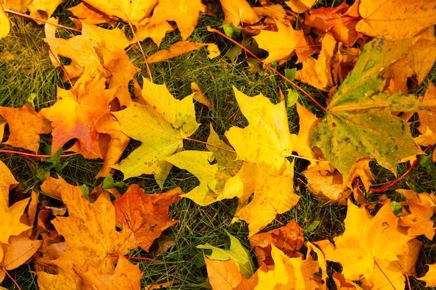 Jesień. na trawie leżą wielobarwne liście klonu.