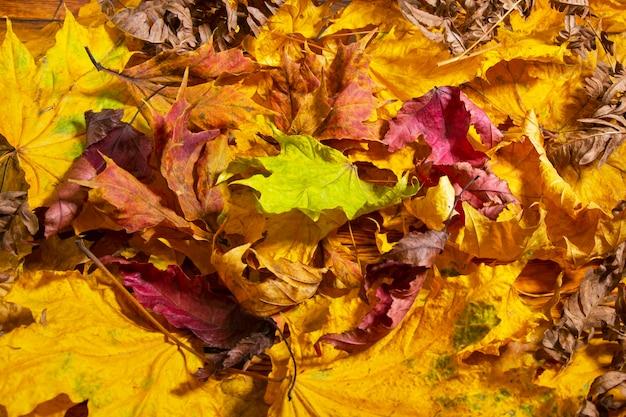 Jesień. na trawie leżą wielobarwne liście klonu