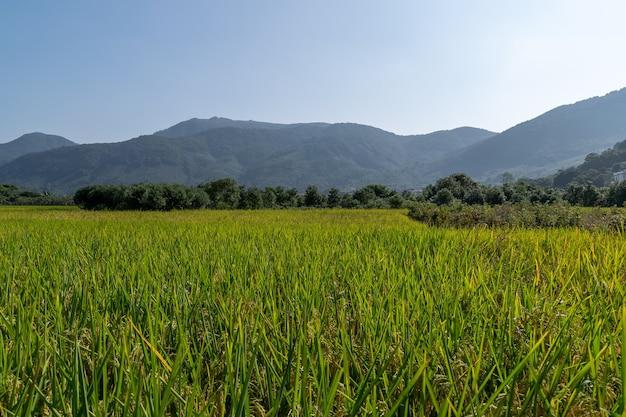 Jesień nadchodzi. złoty ryż pod błękitnym niebem jest bardzo piękny?