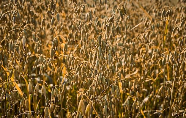Jesień nastrój, pole owsa na farmie, rolnictwo na tle, widok wiejski i rustykalny