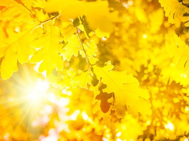 Jesień natura tło z liśćmi dębu i słońce