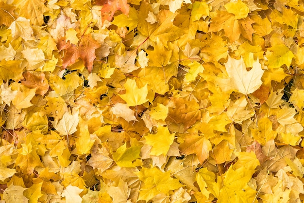 Jesień naturalne tło z jasnymi liśćmi klonu