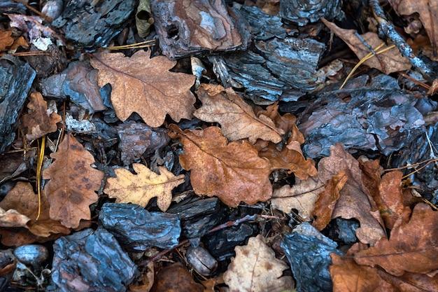 Jesień tło z kory sosnowej i liśćmi dębu