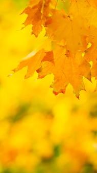 Jesień tło z liści klonu.