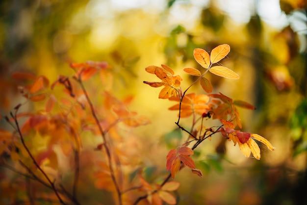 Jesień tło z żółtymi liśćmi w zachodzie słońca.