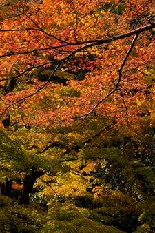 Jesień w japonii, klon zmienia kolor na sezonowy w listopadzie, a liście są podświetlane