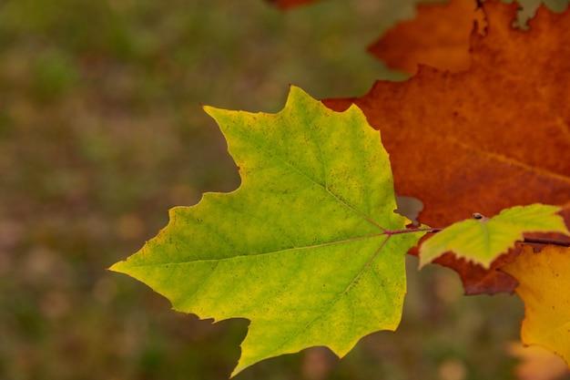 Jesień wielobarwne liście klonu na gałęzi drzewa. selektywna ostrość.