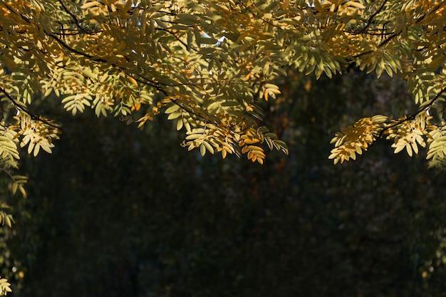 Jesień. zielone i żółte liście jarzębiny są oświetlone przez słońce