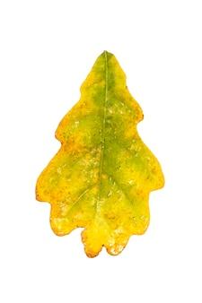 Jesień żółty liść dębu z kroplami deszczu. wyizoluj na białym tle. botanika.