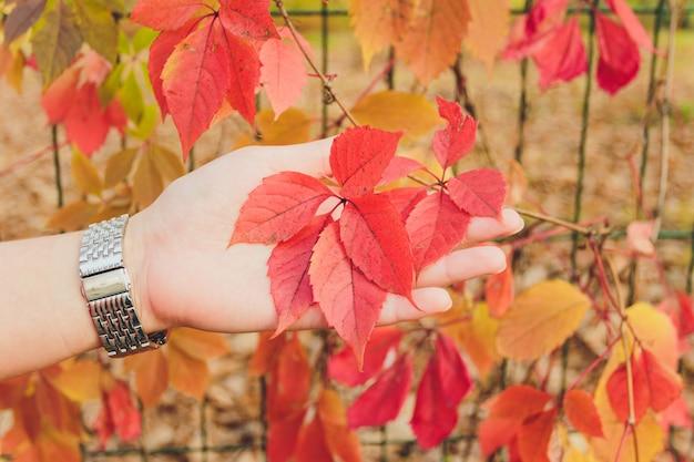 Jesieni gałąź klonowy drzewo z czerwonymi liśćmi.
