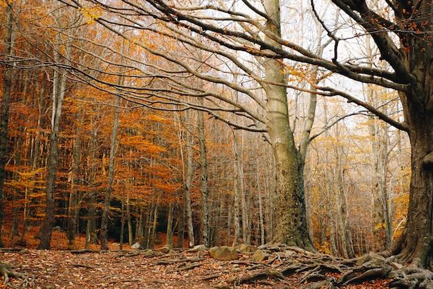 Jesieni tło kolorowy las z pomarańczowymi liśćmi trzyma w drzewach i dużych korzeniach w ziemi
