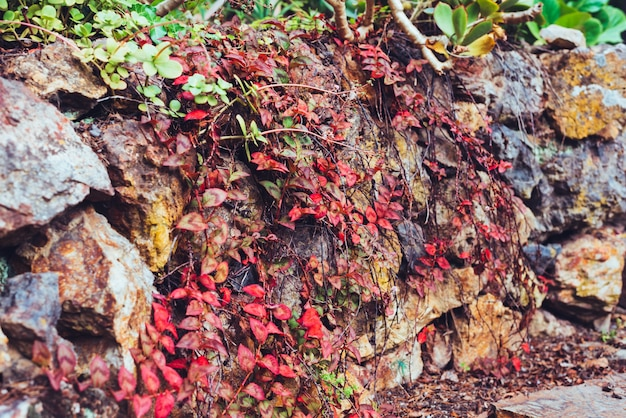 Jesienią czerwony liści na ścianie kamienia wspinaczka winorośli roślin