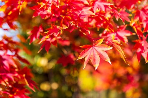 Jesienią klonowe tło