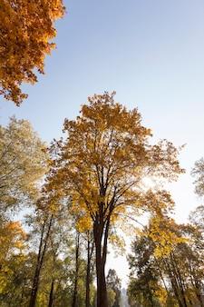 Jesienią klony zmieniają kolor na żółte liście