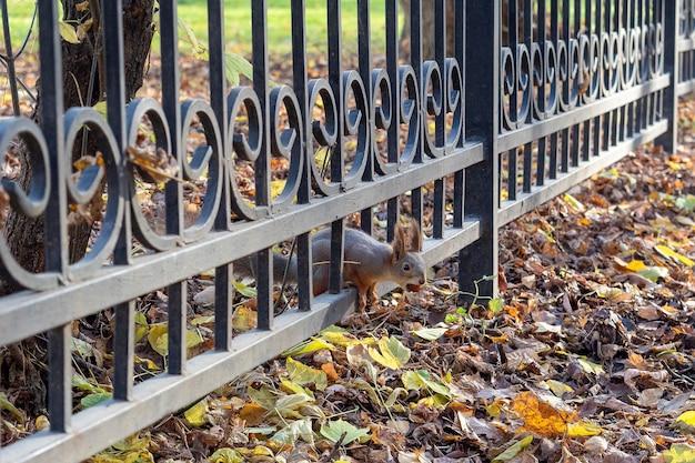 Jesienią w parku spod metalowego ogrodzenia z nakrętką w pysku wystaje wiewiórka.