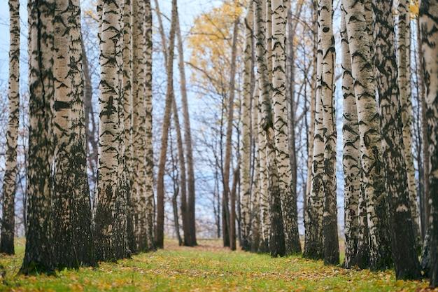 Jesienna aleja brzozowego lasu. piękny chodnik z opadłymi liśćmi. spokojna pogoda. żadnych ludzi. czas zmiany sezonu. świeże, zdrowe wilgotne powietrze w lesie.