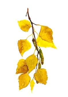 Jesienna gałąź brzozy z żółtymi liśćmi, akwarela