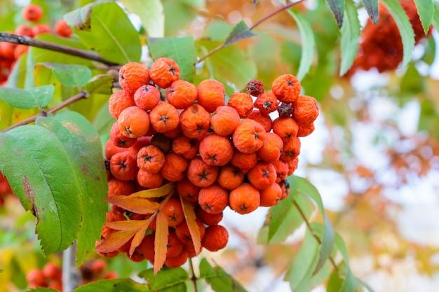 Jesienna jarzębina z bliska czerwone jagody suche. selektywne skupienie. jesienny krajobraz.