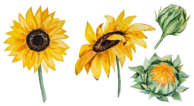 Jesienna kolekcja akwareli z żółtymi słonecznikami na białym tle