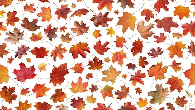 Jesienna koncepcja bez szwu z wielu liści klonu na białym tle