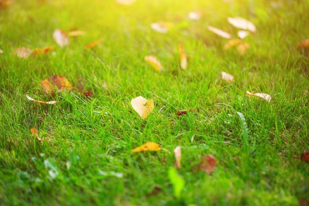 Jesienna trawa z opadłymi żółtymi liśćmi o zachodzie słońca lekkie jesienne liście na zielonej trawie