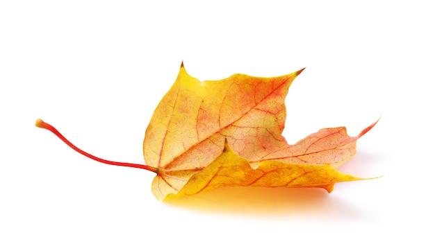 Jesienne ciepłe kolory liść klonu na białym tle
