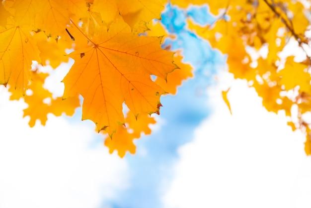 Jesienne czerwone liście klonu na tle błękitnego nieba