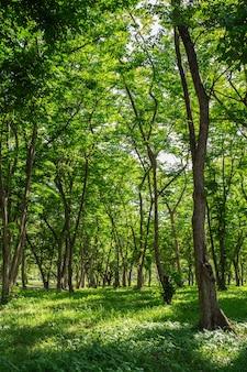 Jesienne drzewa leśne. natura zielony drewno światło słoneczne cień tła.