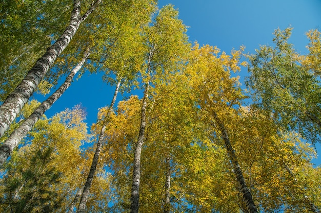 Jesienne drzewa na tle błękitnego nieba