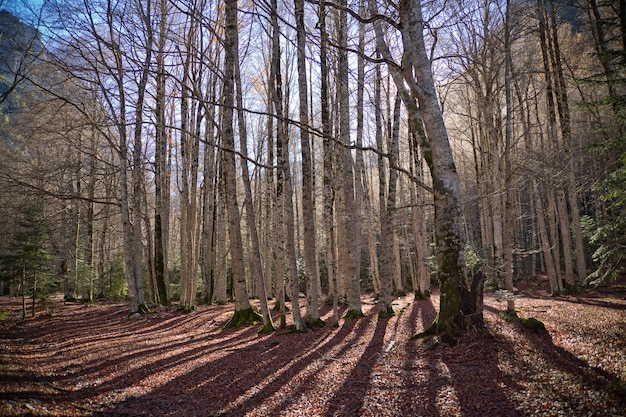 Jesienne drzewa w ordesa national park, pireneje, huesca, aragonia, hiszpania