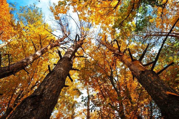 Jesienne drzewa z żółtymi liśćmi na tle błękitnego nieba.