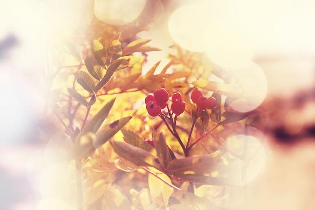 Jesienne drzewo jarzębiny