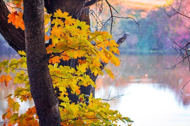 Jesienne drzewo klon w pobliżu rzeki podczas zachodu słońca