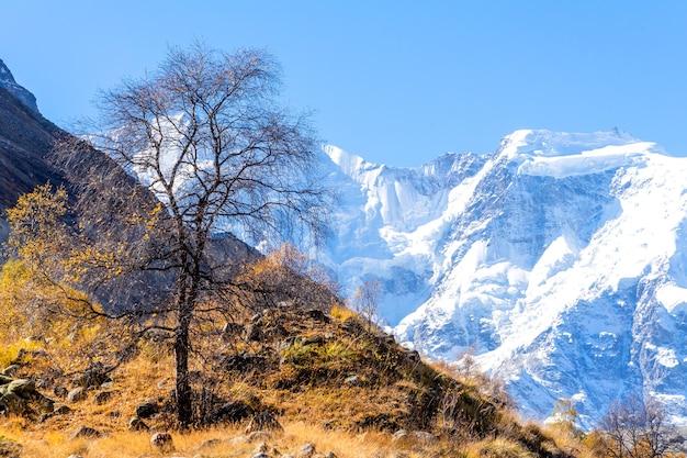 Jesienne drzewo z żółtymi liśćmi na tle na tle pięknej panoramy wysokich skalistych gór z ośnieżonymi szczytami, potężnymi lodowcami