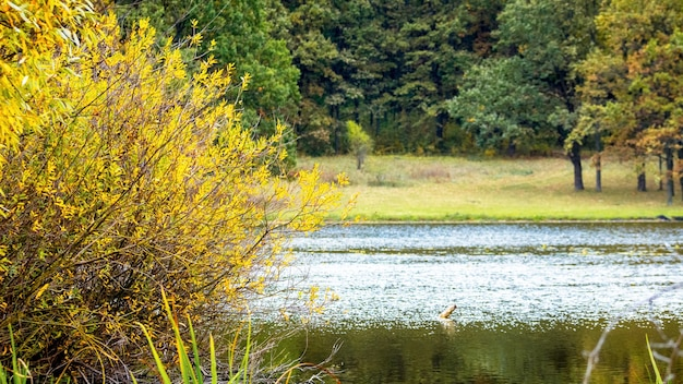 Jesienne drzewo z żółtymi liśćmi nad rzeką i lasem na przeciwległym brzegu rzeki