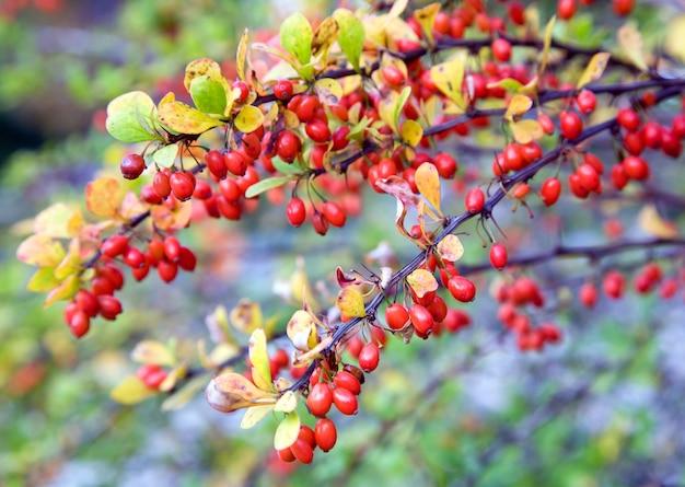 Jesienne gałązki berberyjskie z czerwoną jagodą (zbliżenie)