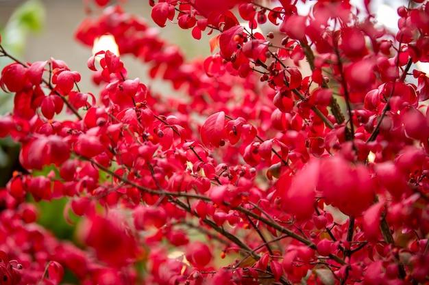 Jesienne kolorowe czerwone liście drzewa w czeskim parku, czerwone tło przyrody
